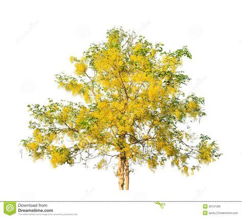 gold canopy golden shower tree cassia fistula royalty free stock