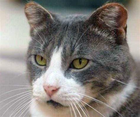 fiv positive cat   stray njcom