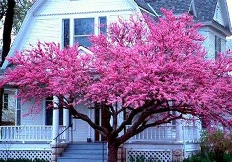 japanese redbud tree photos cercis canadensis eastern redbud 25 seeds cold hardy zones