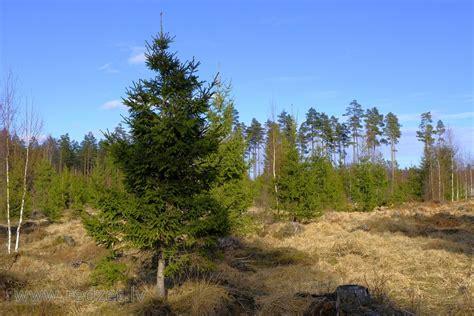 Jauna egle - Parastā egle (Picea abies) - redzet.eu