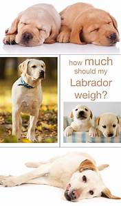 Labrador Weight Charts How Much Should My Labrador Weigh