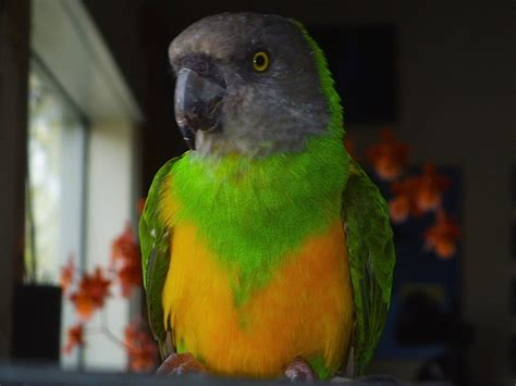 senegal parrot senegal parrot facts pet care housing feeding pictures singing wings aviary
