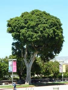 Evergreen Shade Trees Southern California