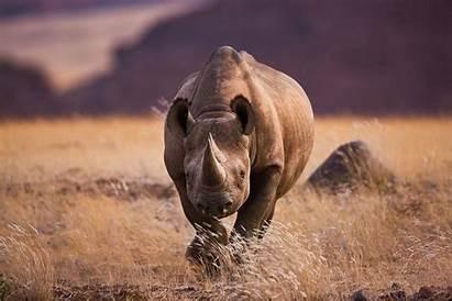 Rhino Hunt Wildlife Hunting Rhinos Conservation Africa