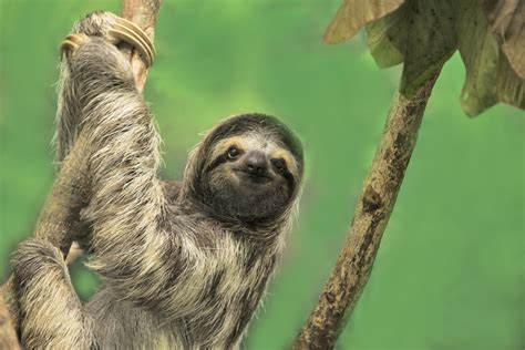 Sloth Images Oregon Conservation Center Offers Sloth Slumber