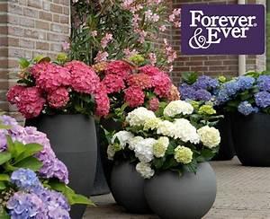 Hortensien Pflege Balkon : hortensien f r garten und terrasse neue pflanzen ~ Lizthompson.info Haus und Dekorationen