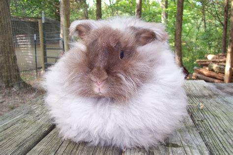 angora rabbit angora rabbit