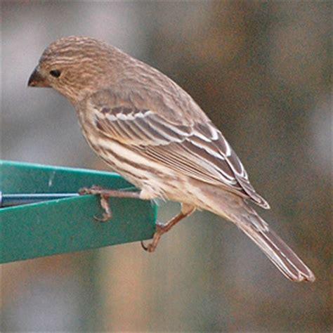 common winter birds  central minnesota