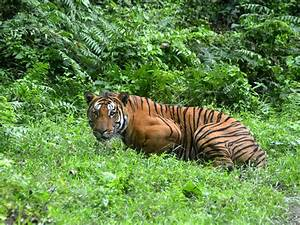 Number of tigers in the wild rises for first time in over ...