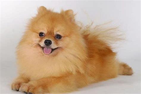 meo 1 2 kg 14 giống chó đẹp nhất thế giới chó cảnh đẹp mèo cún