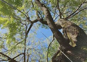 Taille Du Saule Pleureur : saule pleureur s a r l des tailles d 39 arbres ~ Melissatoandfro.com Idées de Décoration