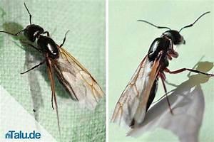Ameisen Mit Flügel In Der Wohnung : fliegende ameisen so werden sie die plage los ~ Orissabook.com Haus und Dekorationen