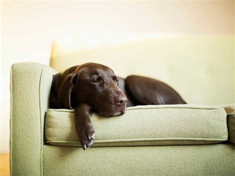how to remove dog hair from sofa how to remove pet hair from your home realestate com au