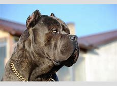 Cane corso of Bajer Our male King Corso