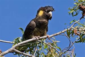 Opinions on yellow tailed black cockatoo