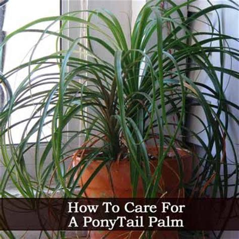 how to care for a plant how to care for a ponytail palm indoor plants pinterest