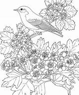 Bluebird Coloring Missouri Pages Mo sketch template