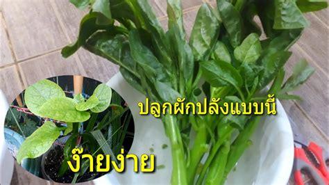 วิธีปลูกผักปลังแบบปักชำจากยอดแบบคนไทยในต่างแดนตั้งแต่เริ่ม ...