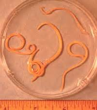 roundworms in cats intestinal hookworm roundworm
