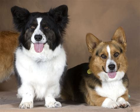 90 Best Dogs [pembroke Welsh Corgi] Images On Pinterest