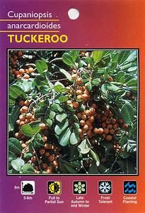 Tuckeroo - Cupaniopsis Anarcardioides