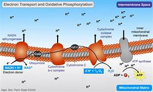 Oxidative phosphorylation: electron transport and ATP ...