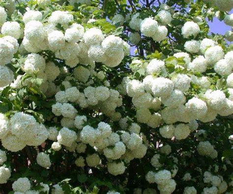 arbustes à fleurs arbuste 224 baies rouges pour apporter une touche de couleur au jardin