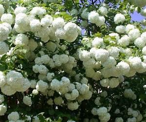 Arbustes Décoratifs à Fleurs : arbuste baies rouges pour apporter une touche de couleur ~ Premium-room.com Idées de Décoration