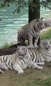 Desktop Nature wallpaper: White Tigers Free Desktop ...