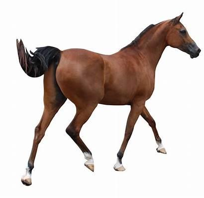 Horse Arabian Clipart Cut Cartoon Clydesdale Pre