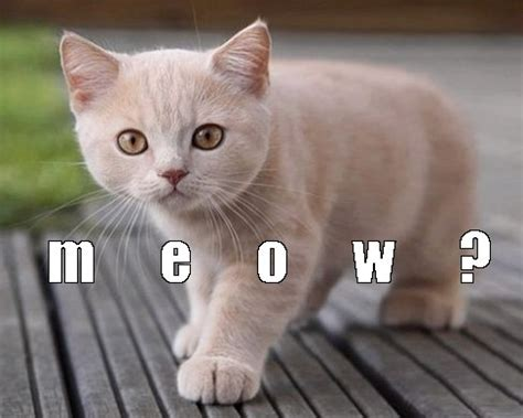 Cat Meow Meme - online casino real money winner maze and very funny cats up to 1630 welcome image 3812774