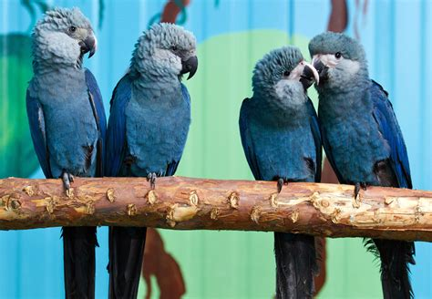 Blue Macaw Species From Rio Extinct From Wild