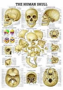 The Human Skull Poster
