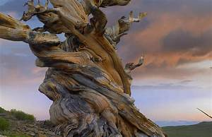 Foxtail Pine Tree Twisted Trunk Of An Photograph by Tim