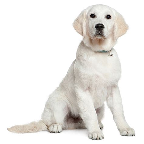 Great Pyrenees Shedding Season by Lab Golden Retriever Mix Shedding 28 Images Beagle Lab