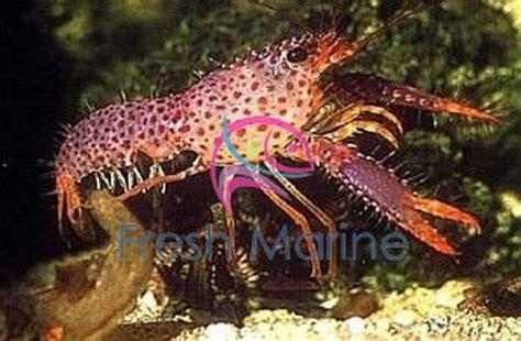 freshmarinecom red lobster enoplometopus species