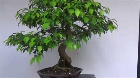 bonsai evolution evolution   ficus benjamina youtube