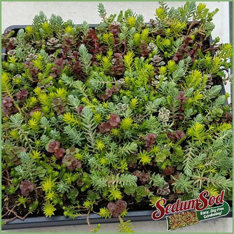 great garden plants sedumsod mini mats dig free garden greatgardenplants