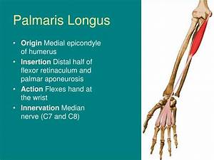 PPT - Anatomy of the Hand and Wrist PowerPoint ...
