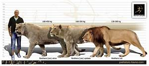 The American Lion - Biggest Ever Known Natural Wild Cat