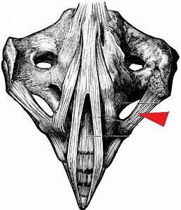 Gross Anatomy Lab Midterm Review
