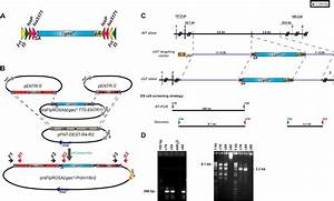 Generation Of A Multipurpose Prdm16 Mouse Allele By