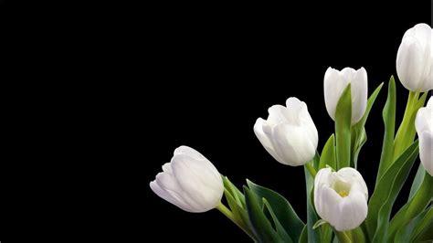 gambar bunga tulip hd kumpulan gambar bagus