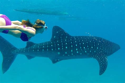 Dive With Whale Sharks Scuba Diving With The Whale Sharks Tour In Cebu Activity