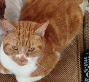 Lovely Ginger and White Tabby Female Cat   High Wycombe ...
