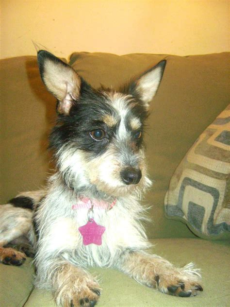 wire hair terrier mix dog breeds picture