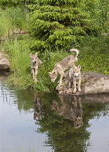 Red, Fox, Reflection, Stock, Photo, Image, Of, Canid