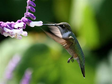 welcoming hummingbirds with nectar plants and pests