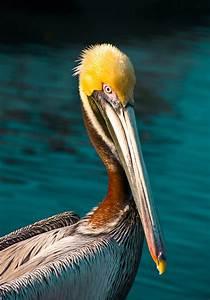 Yellow Head Pelican