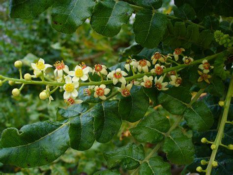 boswellia sacra tree boswellia sacra